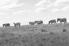 Wildlife Zebra Animals Grasslands Black White Tone Vintage. Wildlife zebra animals crossing grassland plateau in black white vintage tone Stock Image