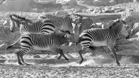 Wildlife, Zebra, Black And White, Black Royalty Free Stock Photography