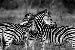 Wildlife, Zebra, Black And White, Black Royalty Free Stock Image