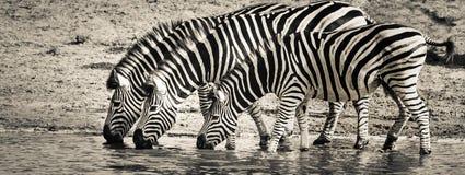 Wildlife, Zebra, Black And White, Terrestrial Animal Royalty Free Stock Images