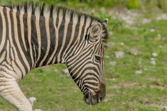 Wildlife - Zebra Royalty Free Stock Image