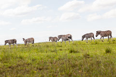 Wildlife Zebra Herd Landscape Royalty Free Stock Image