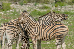 Wildlife - Zebra's Royalty Free Stock Photos