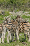 Wildlife - Zebra's Royalty Free Stock Images