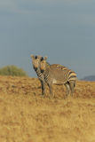 Wildlife - Zebra's Royalty Free Stock Image