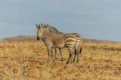 Wildlife - Zebra's Royalty Free Stock Photo