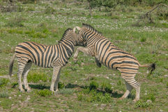 Wildlife - Zebra's Stock Image
