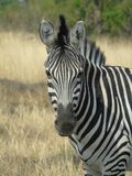 Wildlife, Zebra, Terrestrial Animal, Fauna Royalty Free Stock Images