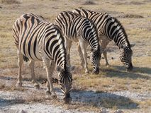 Wildlife, Zebra, Terrestrial Animal, Fauna royalty free stock photo
