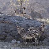 Wildlife, Zebra, Terrestrial Animal, Mammal Royalty Free Stock Photography