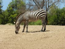Wildlife, Zebra, Terrestrial Animal, Mammal Stock Photography