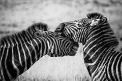 Wildlife, Zebra, White, Black And White Royalty Free Stock Photography