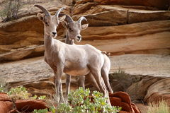 Wildlife in Zion. Wildlife, standing along the road in Zion National Park in Utah Royalty Free Stock Images