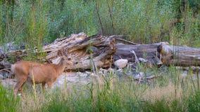 Wildlife in Zion National Park Utak US Royalty Free Stock Photography