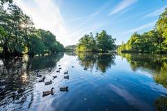 Wildlife in Wollaton Lake Royalty Free Stock Image