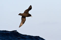 Wildlifewhite-chinned petrel flying over the Atlantic Stock Images
