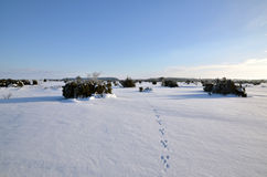 Wildlifr tracks. Tracks in untouched snow in a plain area with junipers Royalty Free Stock Image