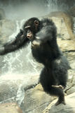 Wildly Jumping Chimp Stock Images