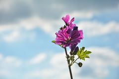 Wildly mallow with blue sky Stock Image