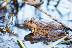 Wildness frog in lake Royalty Free Stock Images