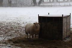 Winter Wonderland Sheeps. Winter Wonderland forest in the netherlands stock images