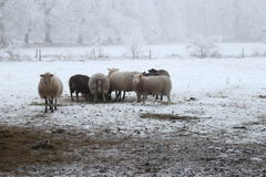 Winter Wonderland Sheeps. Winter Wonderland forest in the netherlands Stock Photography