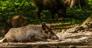 Boar in Wildpark Neuhaus. Wildpark Neuhaus,Park full of animals un Germany Stock Images