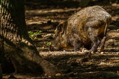 Boar in Wildpark Neuhaus. Wildpark Neuhaus,Park full of animals un Germany Royalty Free Stock Photos