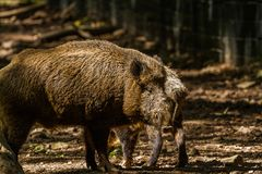 Boar in Wildpark Neuhaus. Wildpark Neuhaus,Park full of animals un Germany Stock Photography