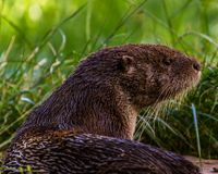 Otter in Wildpark Neuhaus. Wildpark Neuhaus,Park full of animals un Germany Stock Image