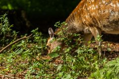 Roe deer in Wildpark Neuhaus. Wildpark Neuhaus,Park full of animals un Germany Royalty Free Stock Photos