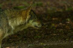 Wolf in Wildpark Neuhaus. Wildpark Neuhaus,Park full of animals un Germany Stock Photography