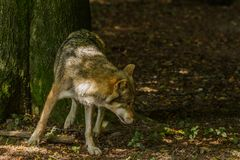 Wolf in Wildpark Neuhaus. Wildpark Neuhaus,Park full of animals un Germany Stock Image