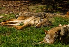 Wolf in Wildpark Neuhaus. Wildpark Neuhaus,Park full of animals un Germany Royalty Free Stock Image
