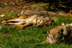Wolf in Wildpark Neuhaus. Wildpark Neuhaus,Park full of animals un Germany Royalty Free Stock Photography