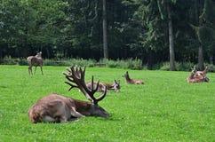 Wildpark Poing鹿 库存图片
