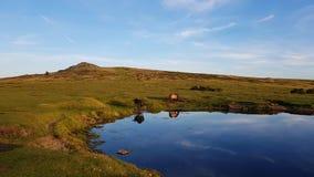 Wildponies van dartmoor Royalty-vrije Stock Foto's