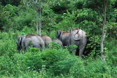 Wilds Elephant Royalty Free Stock Photography