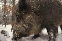 Wildschwein 1. Lizenzfreies Stockbild