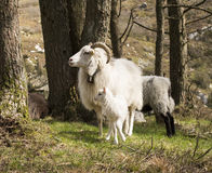 Wildsheep with lamb Royalty Free Stock Photo