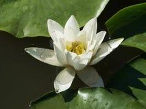 Wildwasser-Lilie oder Nymphea Lizenzfreie Stockfotos