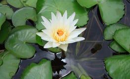 Wildwasserlilie lizenzfreie stockbilder