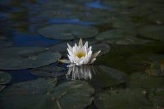 Wildwasserlilie reflektiert im Wasser Stockbild