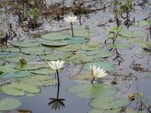 Wildwasserlilien, See mit grünen Blättern lizenzfreie stockfotografie