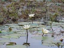 Wildwasserlilien, See mit grünen Blättern stockbild