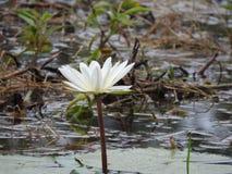 Wildwasserlilien, See mit grünen Blättern lizenzfreies stockfoto