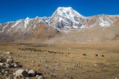 Wildyaks lassen die Himalaja- Wiesen bei Nord-Sikkim weiden Stockfotos