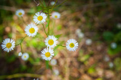 Wile white asters Royalty Free Stock Image