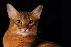 Wiled and hypnotic look of somali cat ruddy color. Hypnotic look of somali cat isolated on black background stock image