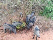 Wiled Pigs In Sri Lanka stock image